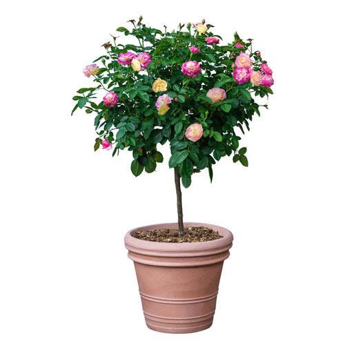 Scentimental™ Tree Rose