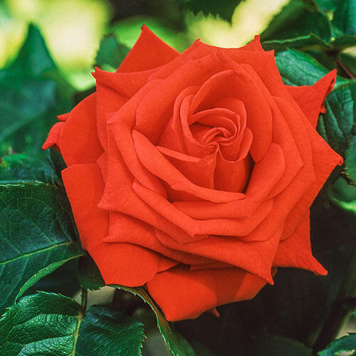 Tropicana Hybrid Tea Rose
