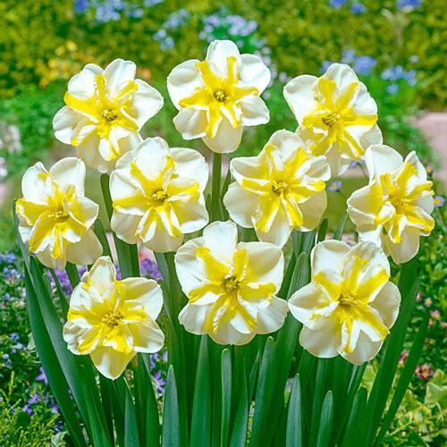 Donaupark Daffodil