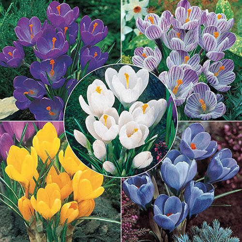 Giant Dutch Crocus Collection