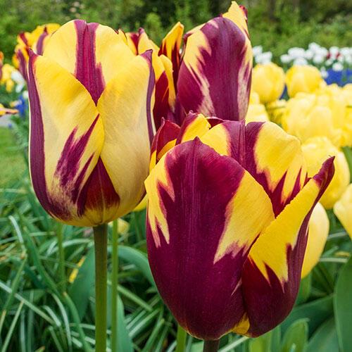 Helmar Tulip Buy Online Breck S