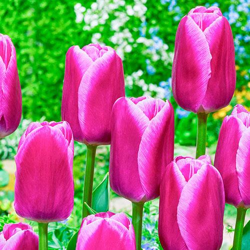 Sandor Tulip