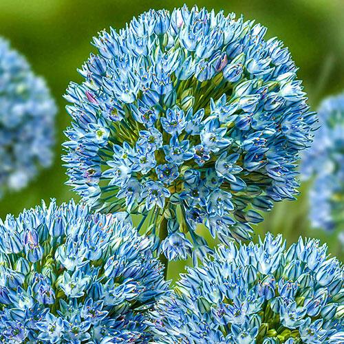 Zamin Allium