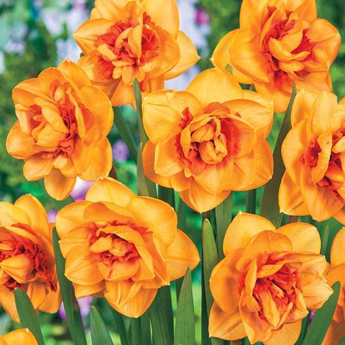 Shinto Daffodil