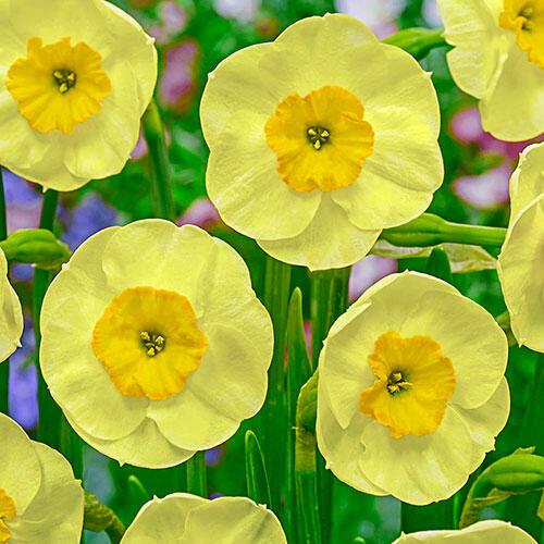 Sun Disc Daffodil