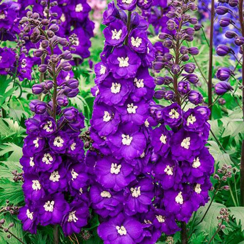 Purple Passion Delphinium