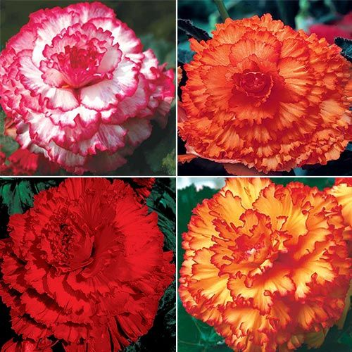 Prima Donna™ Begonia Collection