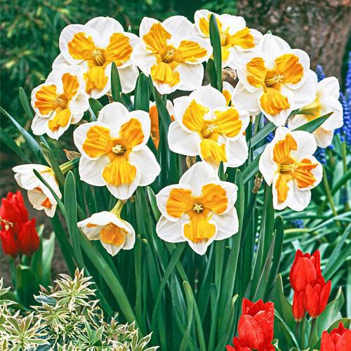 Tricollet Daffodil