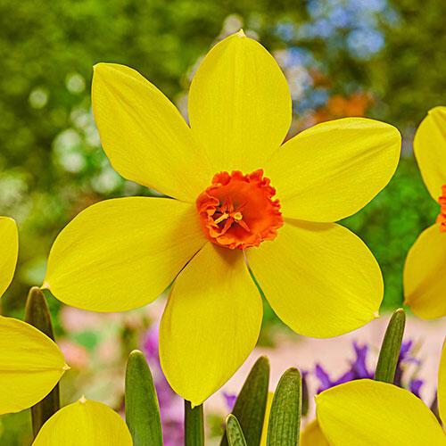 Spinner Daffodil