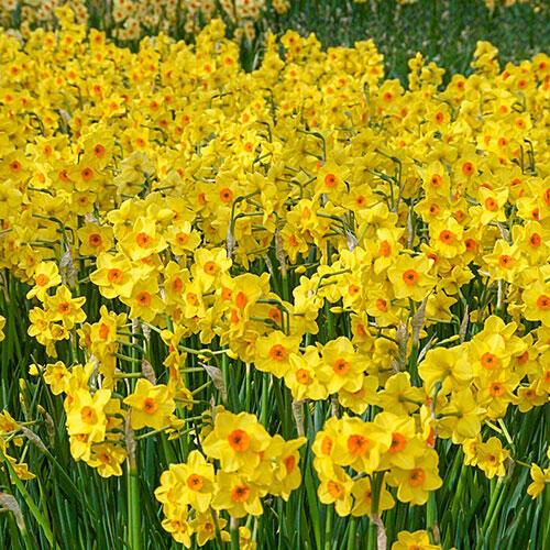 Golden Dawn Daffodil