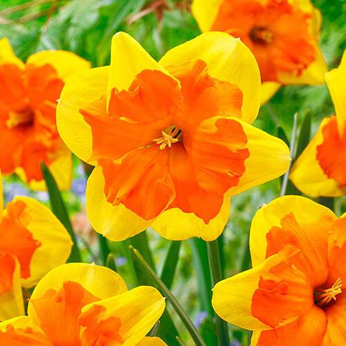 Congress Daffodil