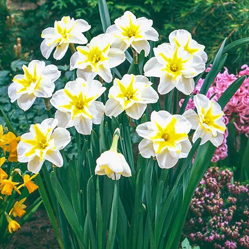 Lemon Beauty Daffodil