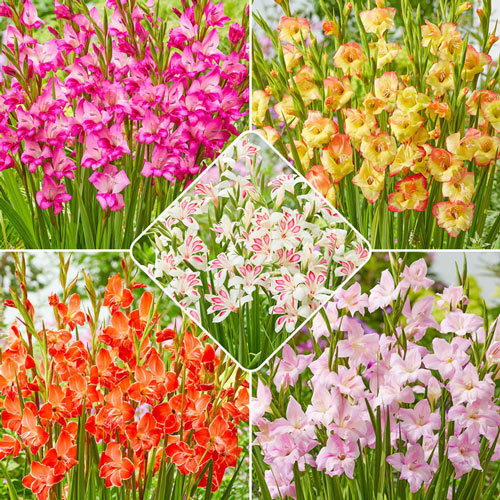 Hardy Gladiolus Collection