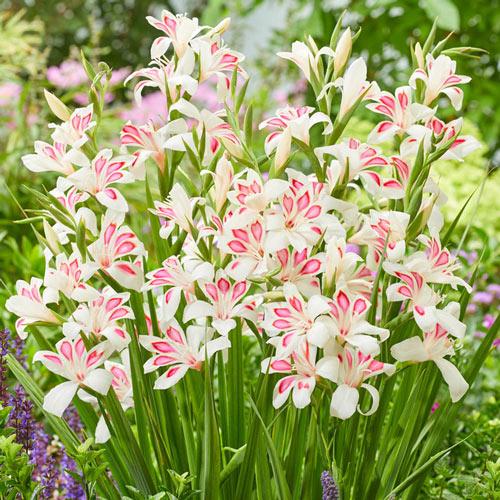 Prins Claus Hardy Gladiolus