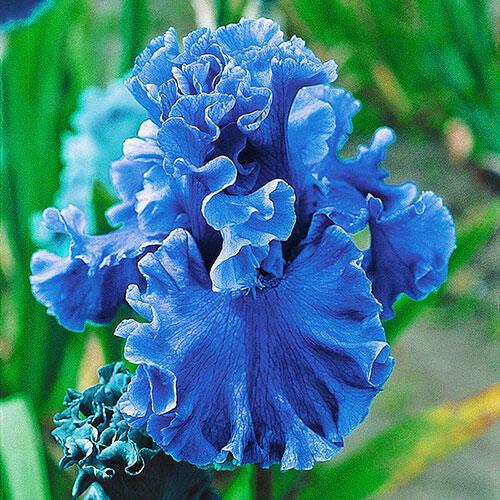 Sea Power Iris