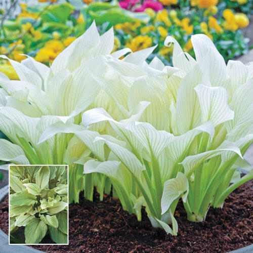 White Feather Hosta Super Sak Breckscom