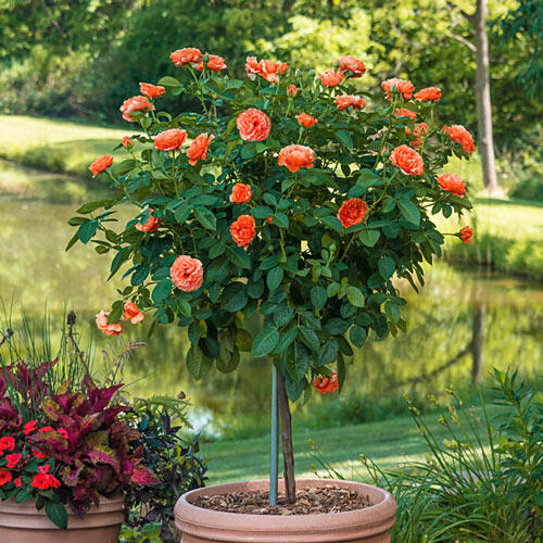 "Easy Does It® 36"" Patio Tree Rose"