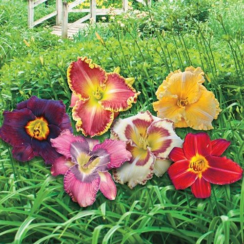 Wow!® Reblooming Daylily Blend