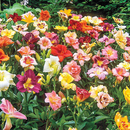 Reblooming Daylily Mixture