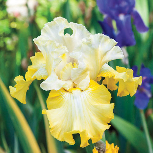 Overjoyed Bearded Iris