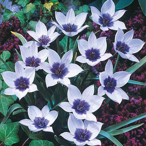 Wild Blue Heart™ Tulip