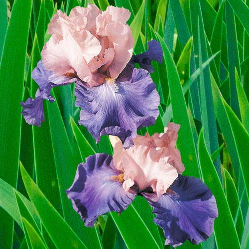 Poem of Ecstasy Bearded Iris