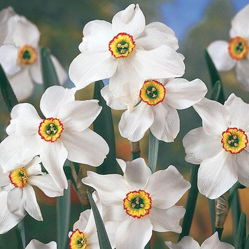 Original Poet's Daffodil