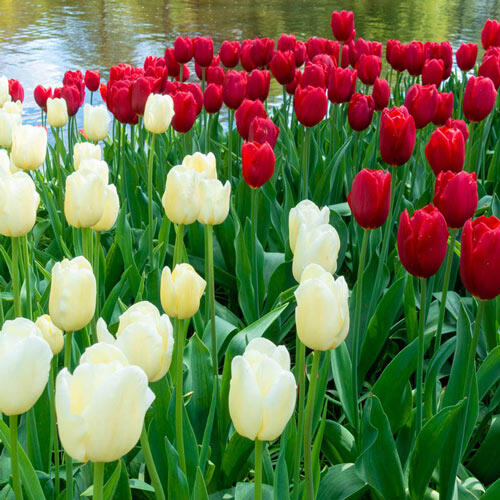 Red and White Love Tulip Duet
