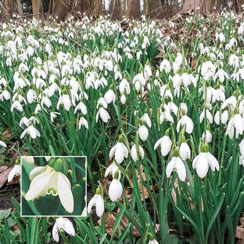 Early Snowdrops