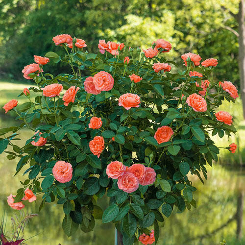 Jump for Joy™ Patio Tree Rose