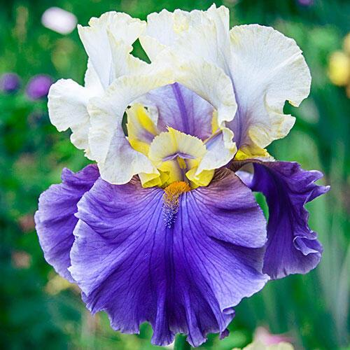 Dream of You Bearded Iris