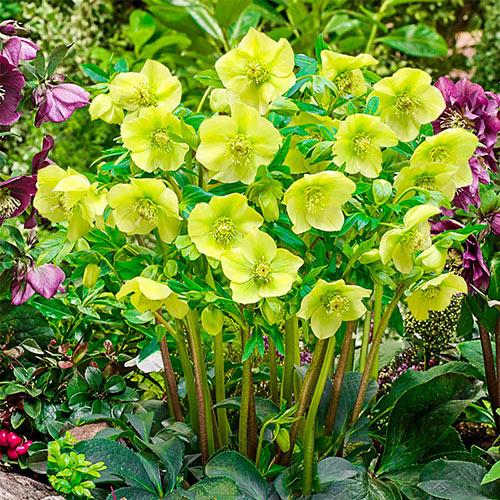Lush Green WOW!® Hellebore