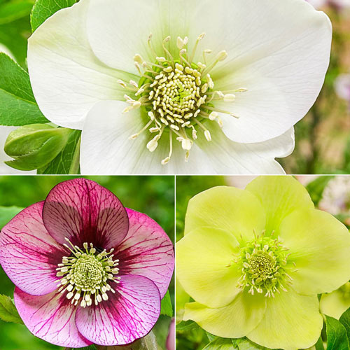Pastel Perfection WOW!® Hellebore Collection
