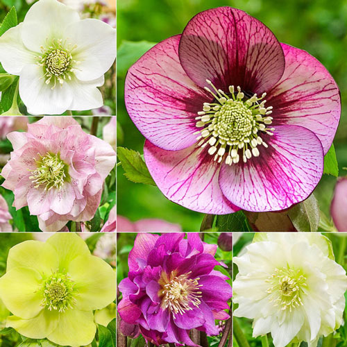 Bloomin Beautiful WOW!® Hellebore Collection