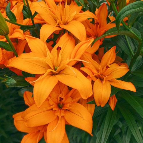 Regent's Park Asiatic Lily