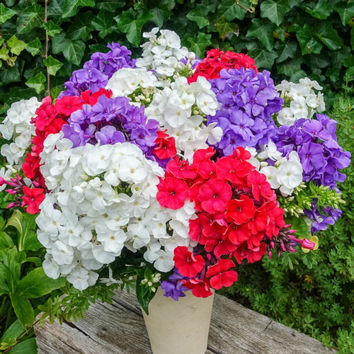 4th of July Phlox Mixture