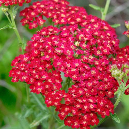 Red Velvet Yarrow