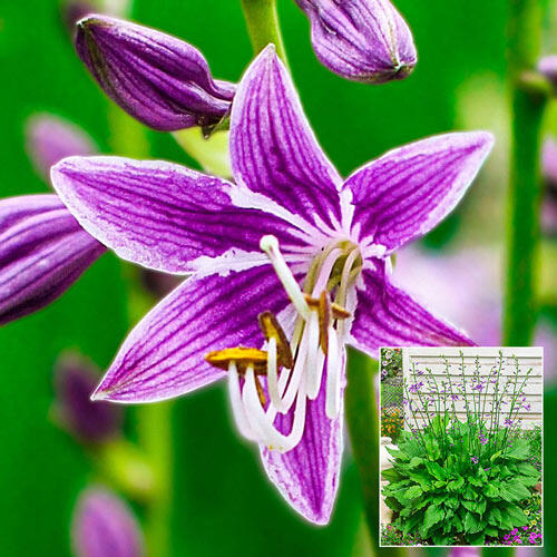 Purple Sensation Hosta Breckscom