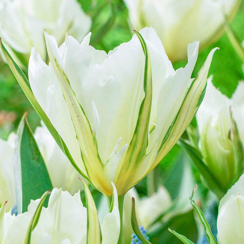 White Valley Tulip