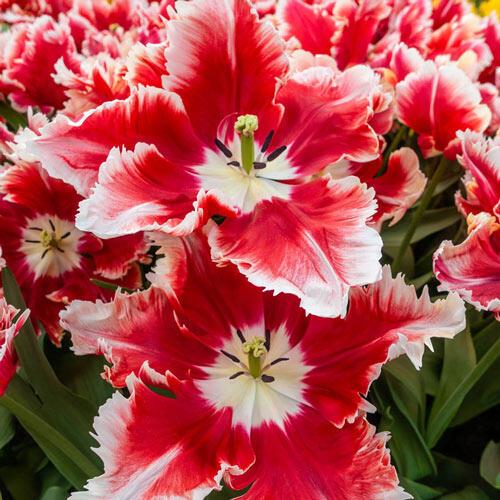 Deejay Parrot Tulip