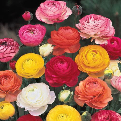 Ranunculus Mixture