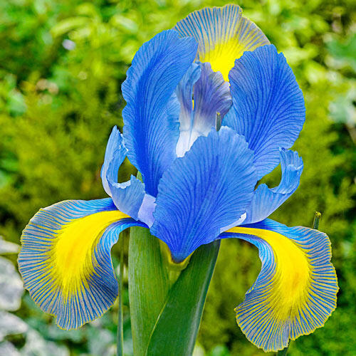 Mystic Beauty Dutch Iris