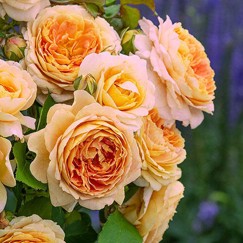 Fun in the Sun™ Hybrid Tea Rose