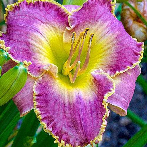 Magic Obsession Reblooming Daylily
