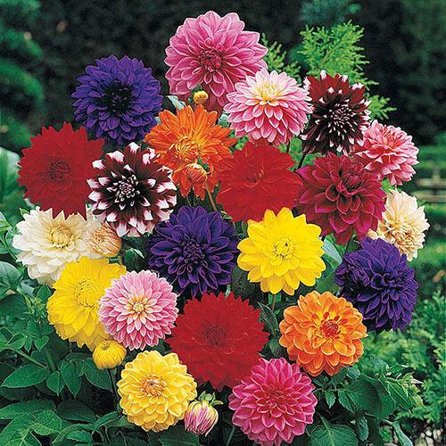 Decorative Dahlia Mixture Super Sak®