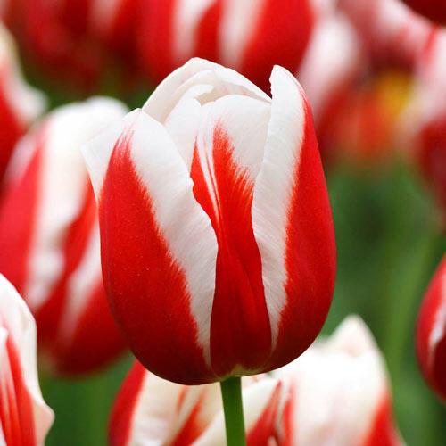 Guus Papendrecht Tulip