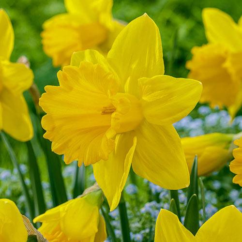 Exception Daffodil