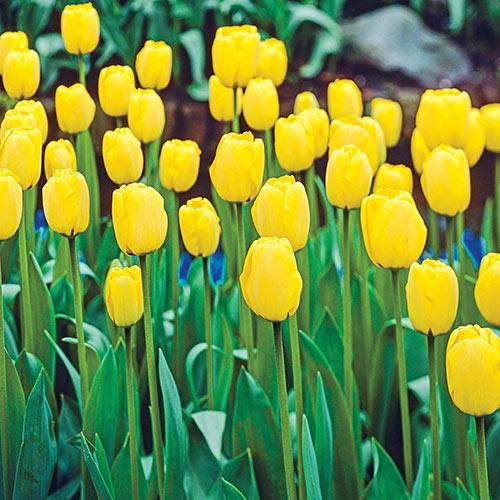 Golden Apeldoorn Perennial Tulip