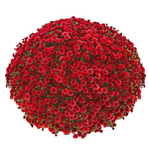 Jolly Red Garden Mum