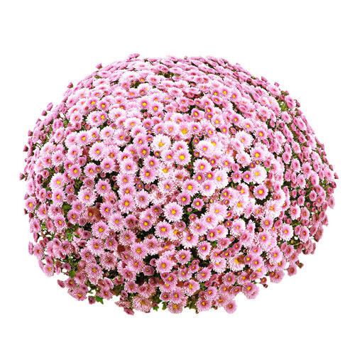 Precious Pink Garden Mum